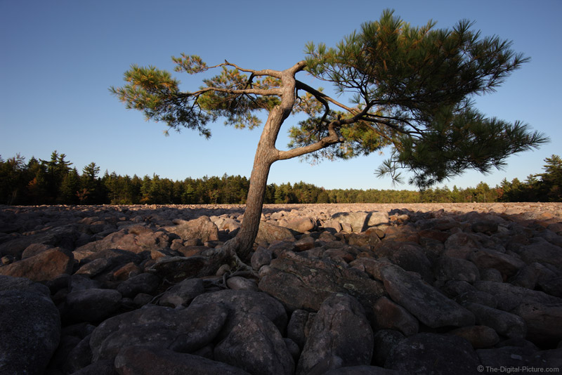 Lone Pine Tree in Hickory Run State Park Boulder Field