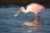Roseate Spoonbill with Mouth Open