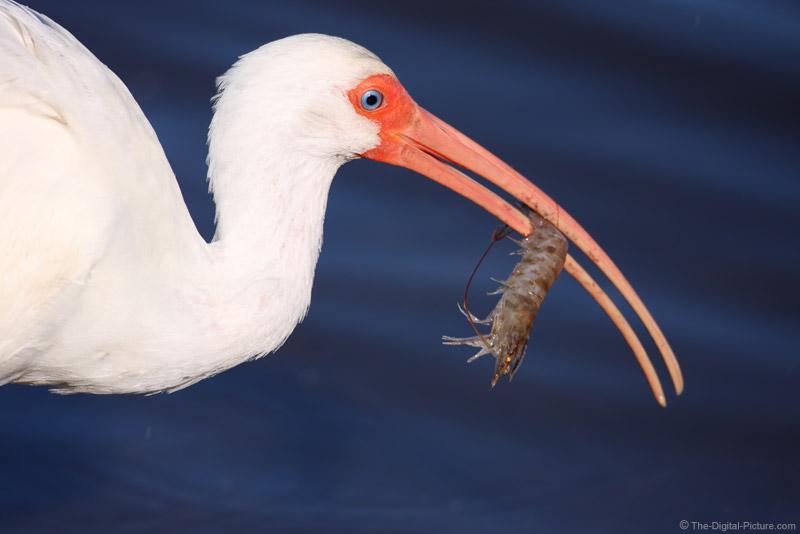 White Ibis with Shrimp