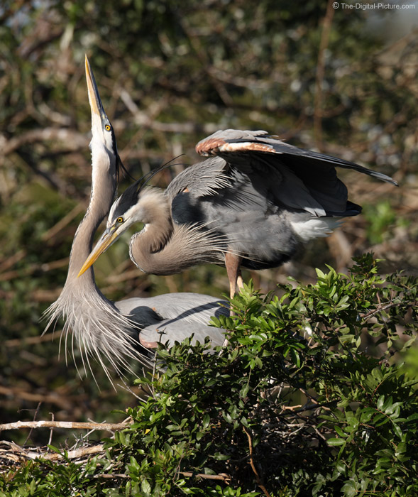 Courting Blue Heron Pair