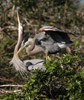 Courting Blue Heron Pair