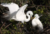 Great Egrets in Love