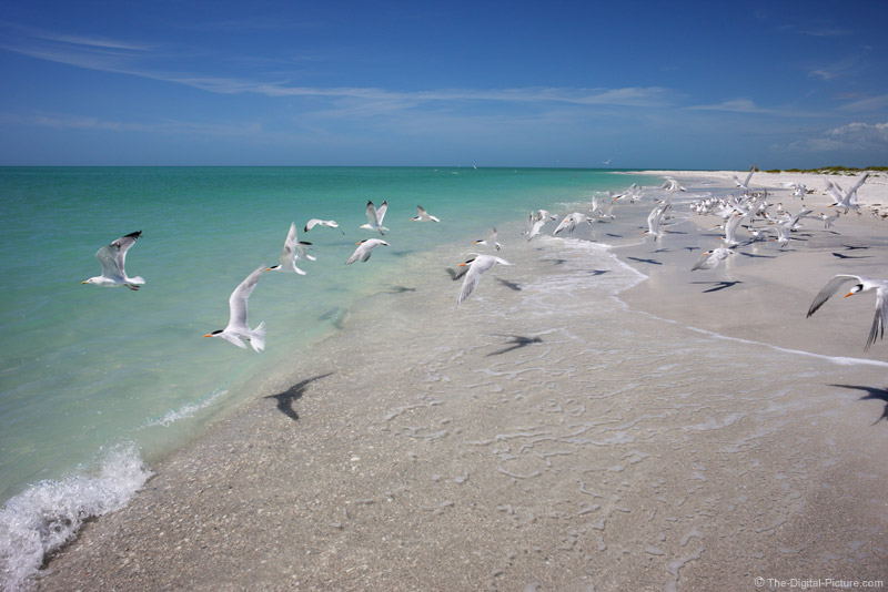 Royal Terns at Cayo Costa State Park