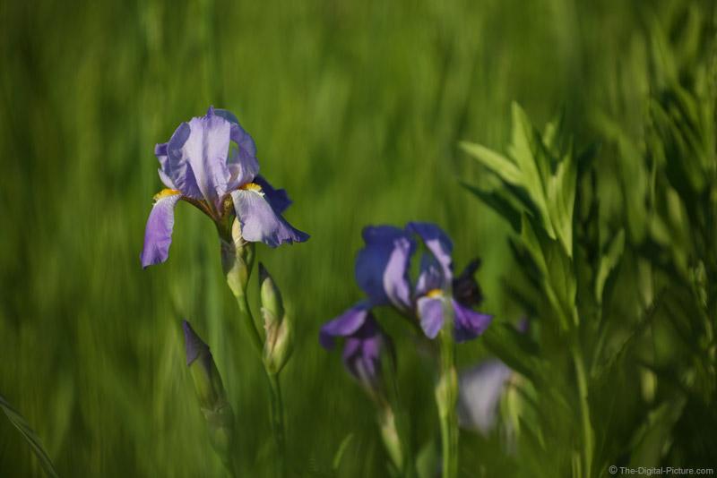 Telephoto Purple Iris Image