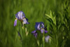 Telephoto Purple Iris Image