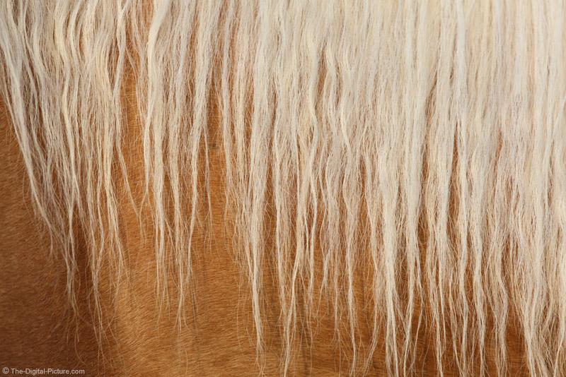 Palomino Horse Maine