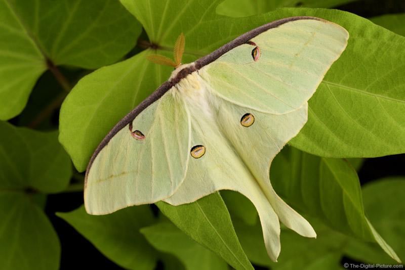 Luna Moth on Green