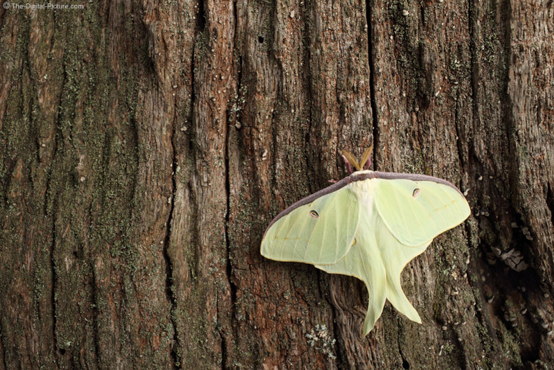 Luna Moth on Tree Trunk