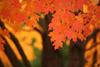 Pennsylvania Maple Tree in the Fall