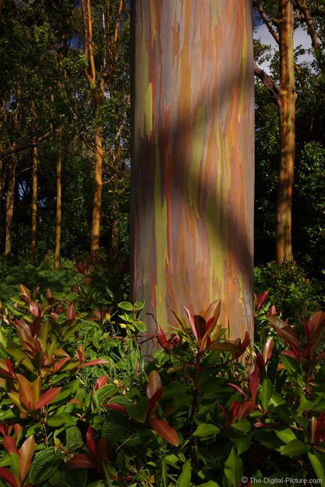 Rainbow Eucalyptus Trees, Maui