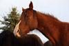 Resting Quarter Horse