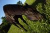 Black Horse Grazing
