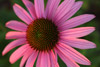 Pink Coneflower Close-up