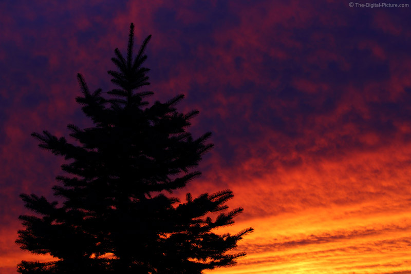Sunset Silhouetted Spruce