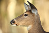 Attentive White-tailed Doe
