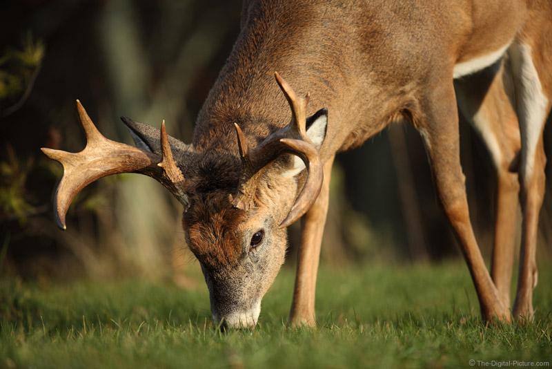 Shenandoah National Park Buck