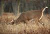 Big Buck in Big Meadows