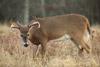 11-pt Big Meadows Buck