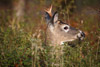 Forkhorned Buck Eating a Branch
