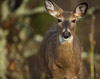 White-tailed Doe in SNP