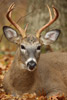 Bedded White-tailed Buck