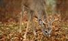 Feeding White-tailed Buck