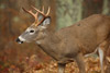 Shenandoah White-tailed Deer