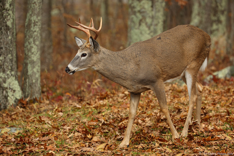 Blue Ridge Mountains Buck