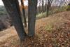 Juxtaposition of Tree Trunks