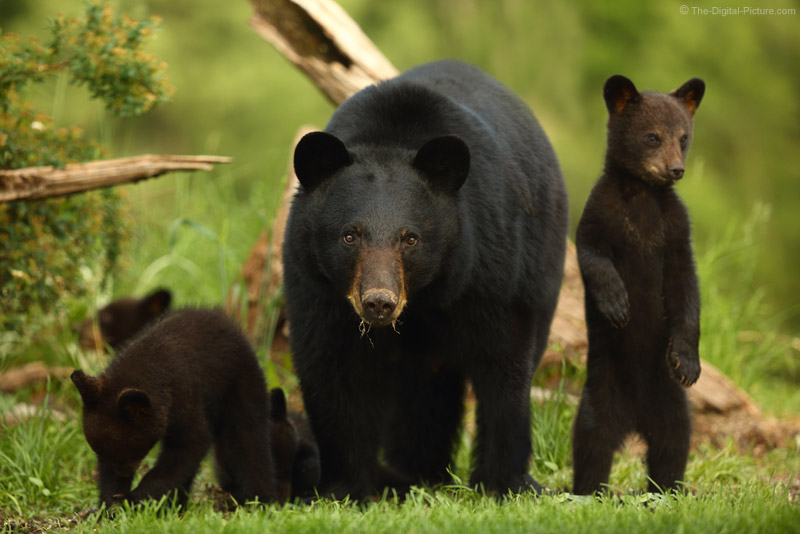 Canon EF 200-400mm f/4L IS captures Black Bear Sow and 4 Cubs