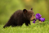 Canon 200-400 L IS Captures Black Bear Cub and an Iris