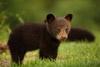 Mosquito Bites Black Bear Cub