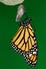Just Metamorphosized Monarch Butterfly
