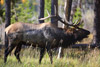7x7 Bull Elk Bugling in Rocky Mountain National Park