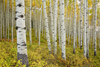Aspen Trunks in Crested Butte, Colorado