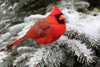 Cardinal Sitting on Snowy Spruce Branch