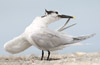 Preening Sandwich Tern