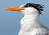 Canon 7D II and 100-400 L II Get Close to a Royal Tern