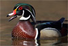 Wood Duck Close-up