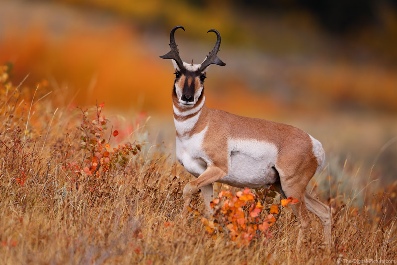 Grand Teton National Park Pronghorn Buck