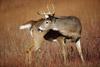 Buck Looking Back, Big Meadows, Shenandoah National Park