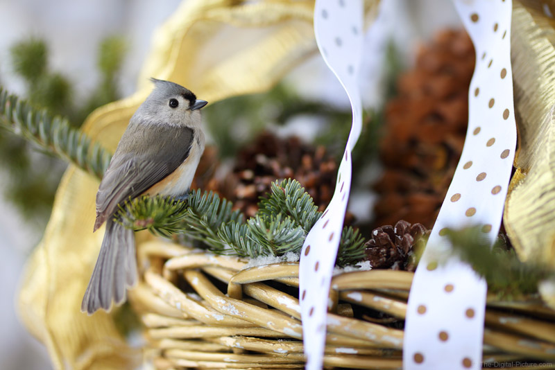 Tufted Titmouse in a Basket, Isolating with 85mm f/1.4 and Merry Christmas!!!