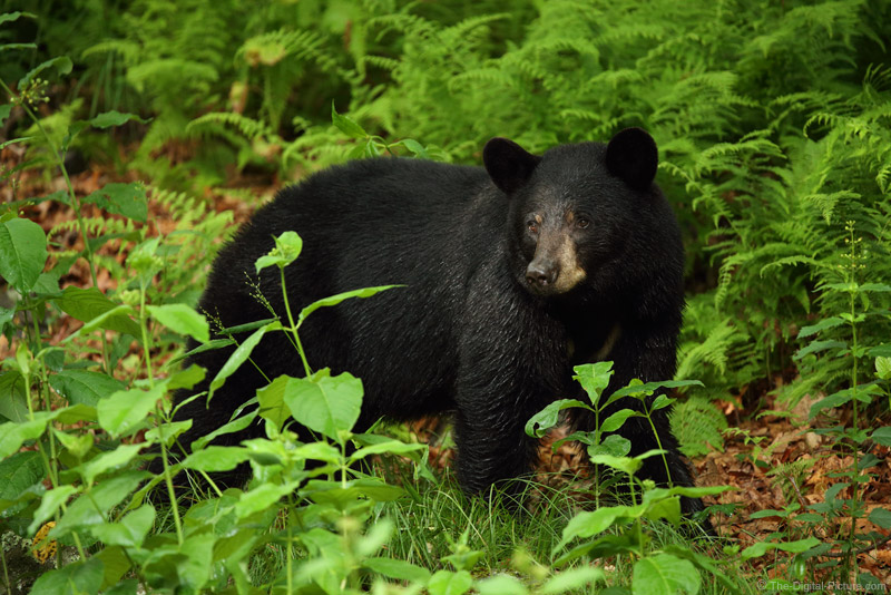 Lessons From a Shenandoah Black Bear