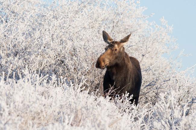 Jonathan Huyer – Moose