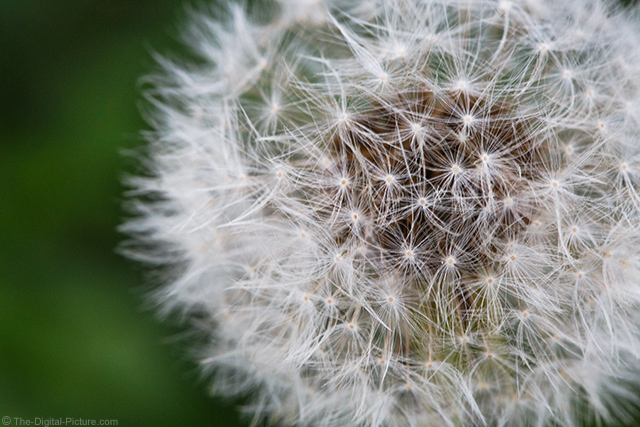 Dandelion Full of Seeds April 2015 Spring Macro
