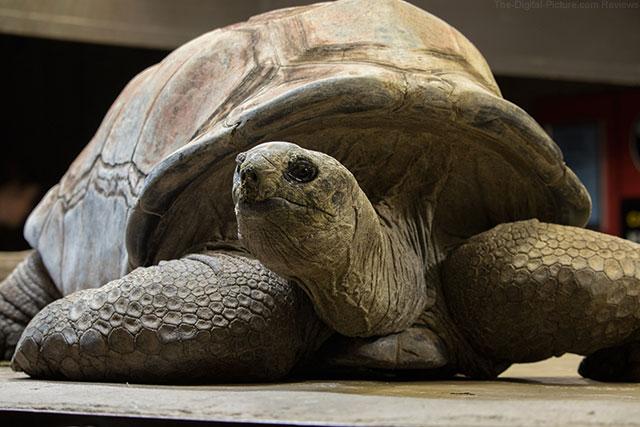 Galapagos Tortoise at Sedgwick County Zoo