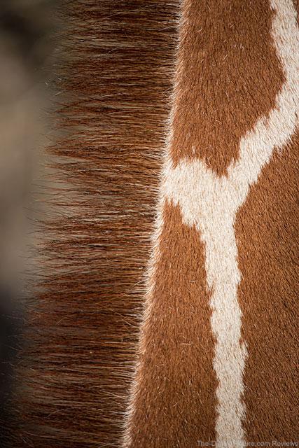 Giraffe Mane at Sedgwick County Zoo
