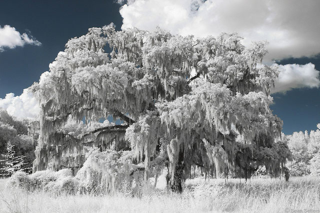 Oak Tree with Spanish Moss Using Life Pixel Super Color IR Converted DSLR