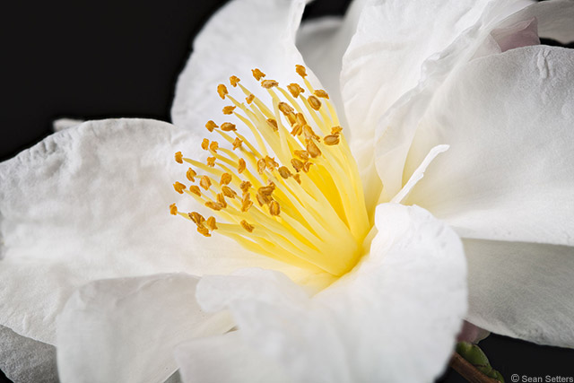 Camellia Bloom (Focus Stack)