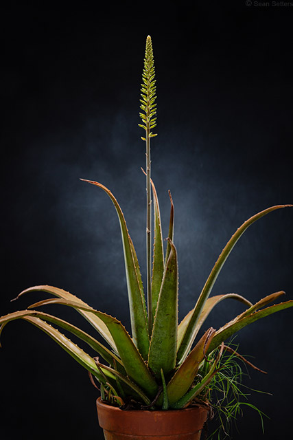 Aloe Plant with Bloom Sean Setters March 2019